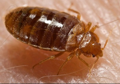 Bed Bugs - getting rid of bed bugs in Northern BC