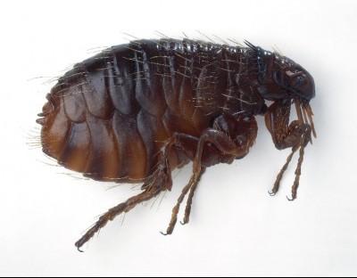 flea - flea removal extermination pest control prince george
